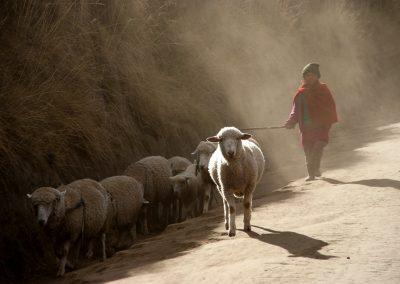 Les retour des pâturages sur les pentes du Chimborazo